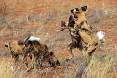 los perros salvajes africanos jugando