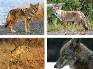 que come el coyote
