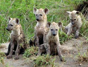 reproduccion de las hienas