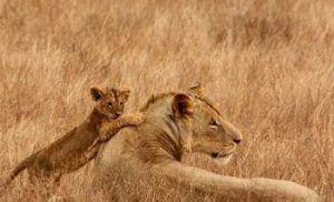 leones africanos reproduccion