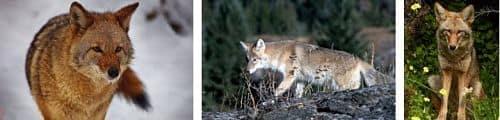 el coyote reproduccion y habitat