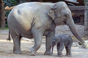 reproduccion de los elefantes