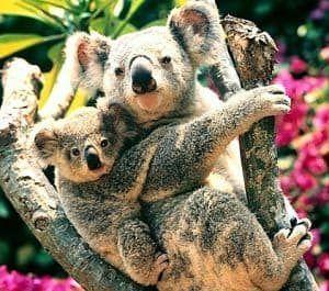 Reproduccion de los koalas