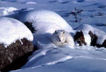 informacion sobre el zorro artico