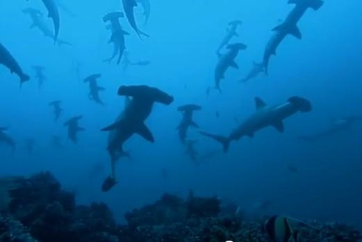 Una Escuela de Tiburones de Cabeza de Martillo