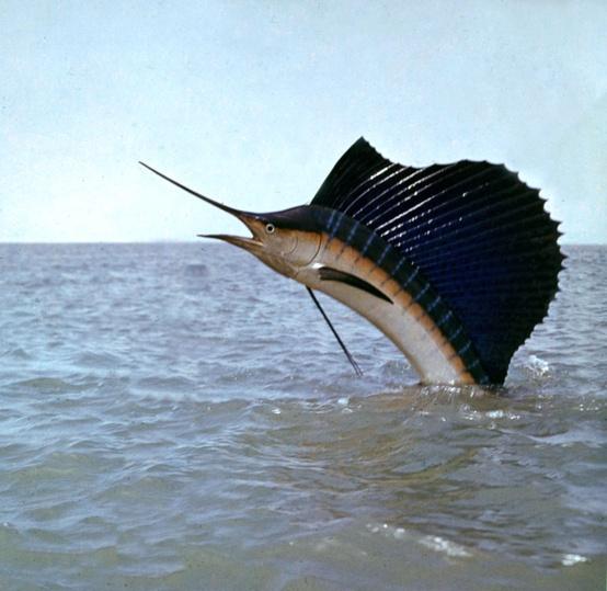 animales acuáticos el pez vela