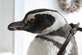 Pingüino Turista
