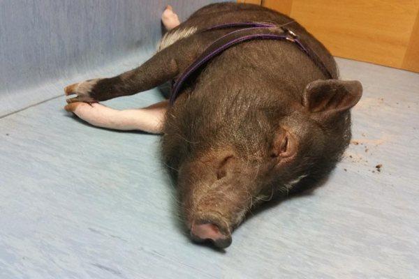 Cerdito operado en Animales Exóticos 24h
