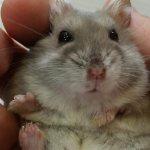 Primer plano de un hamster en una mano