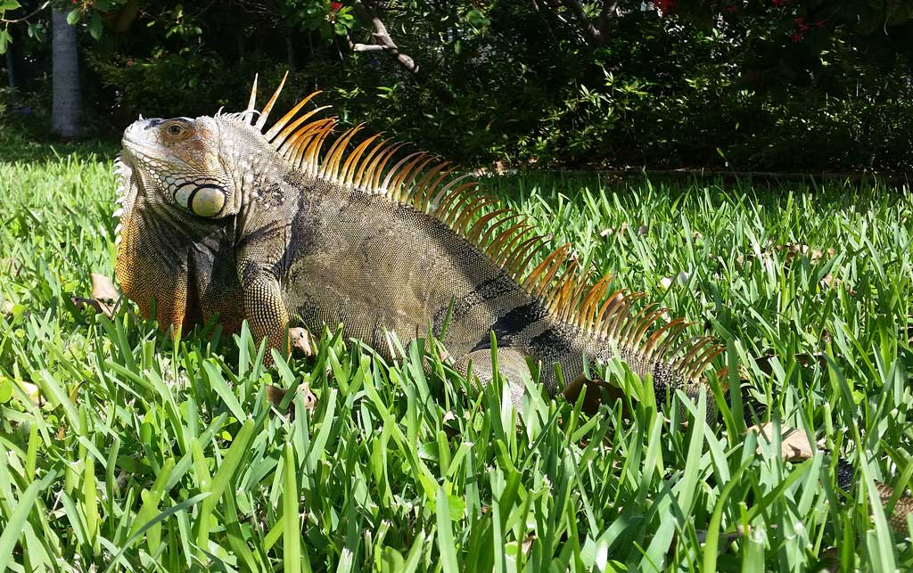 Iguana sobre césped