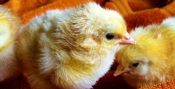 Imagen pollo en el suelo