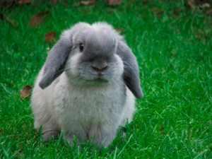 conejos belier enanos