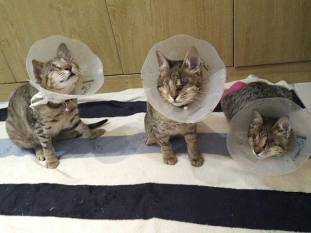 gatti ciechi che non si preoccupano per l'influenza