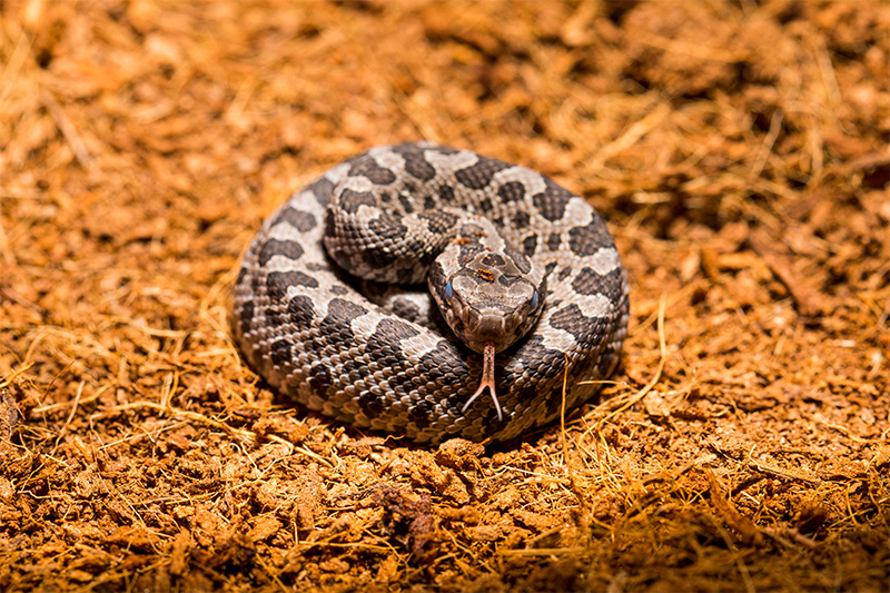 Image result for free blog pics of rattlesnakes