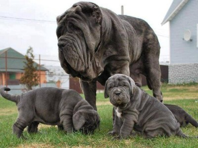 "These funny mastiffs have ""melting skin"" that looks like they have too much skin around their head and jaws."