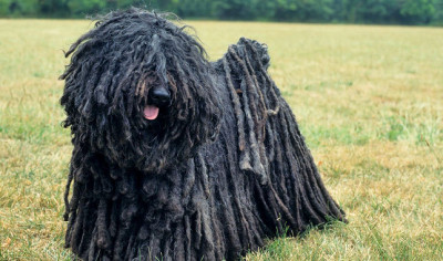 Funny looking medium size dog with long fur in dreadlocks.
