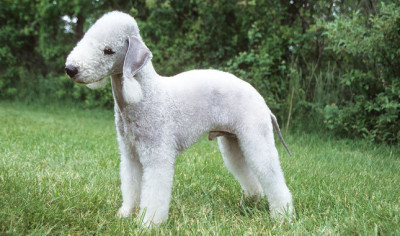 White little dog with a soft curly coat like a sheep.