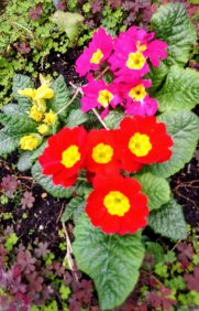 Spring Flowers, Primula red, pink and yellow
