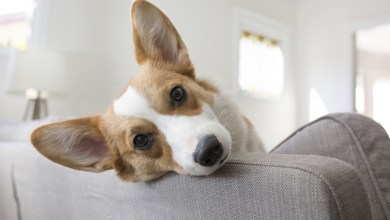 Colitis Dog |6 Reasons of Colitis in Canines