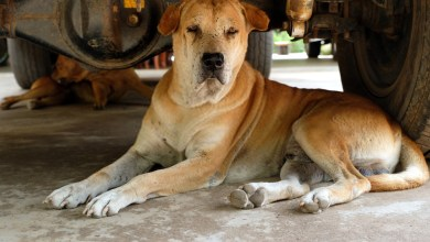 How Long Do Dogs Stay In Heat?: It's Not As Difficult As You Think