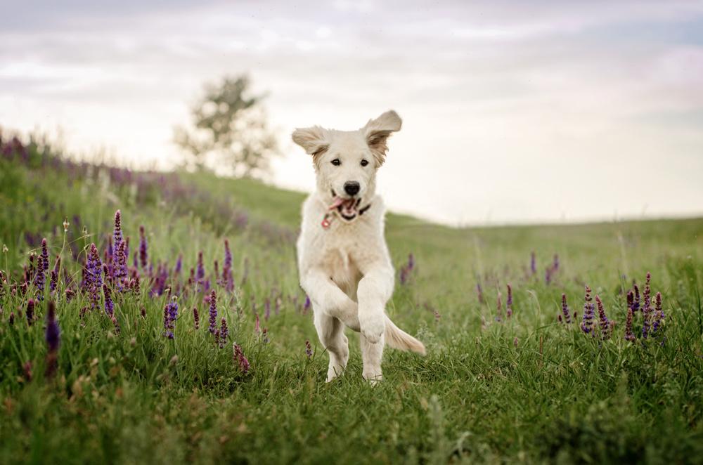 White Husky and Golden Retriever