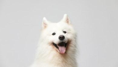 White Husky Lab Mix