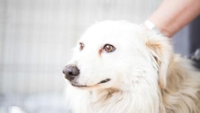 White Husky Dog Adoption