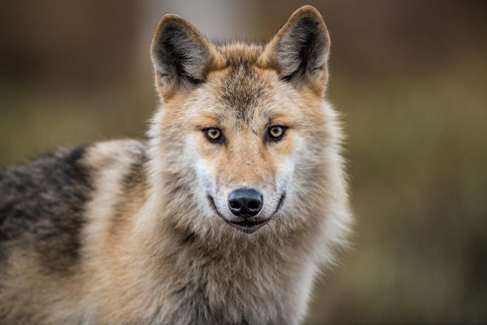 Wolf Dog Hybrid Facts