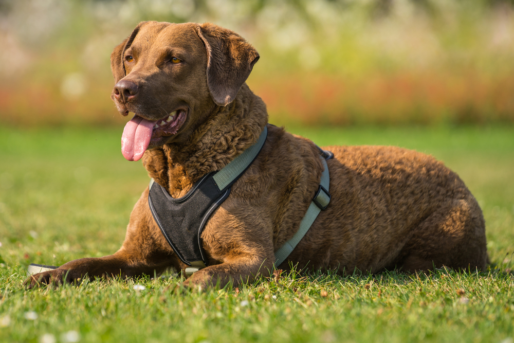 Chesapeake Bay Retriever dogs