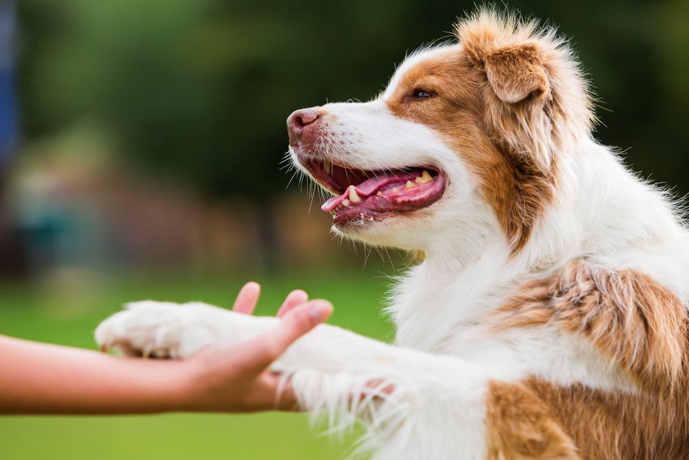 Teach a Dog to Shake Hands