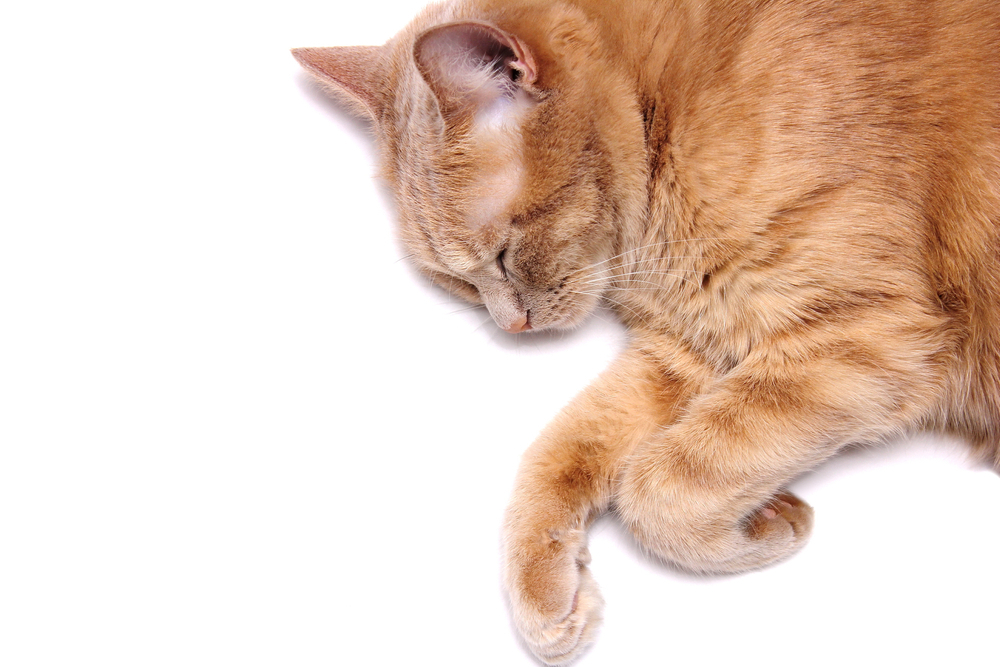 How to Euthanize a Cat Without a Vet?