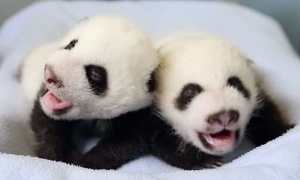 Baby panda twins born at the Atlanta Zoo