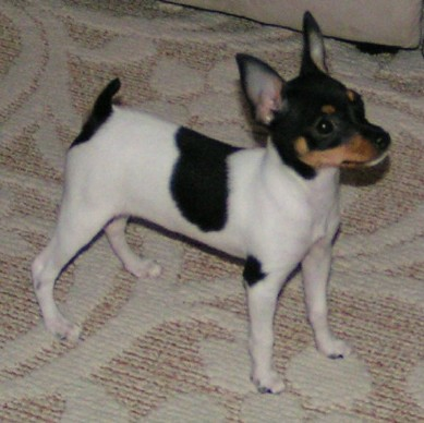 Toy Fox Terrier Dog Breed History And Some Interesting Facts