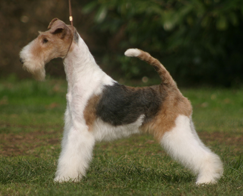 Wire Fox Terrier Dog Breed History And Some Interesting