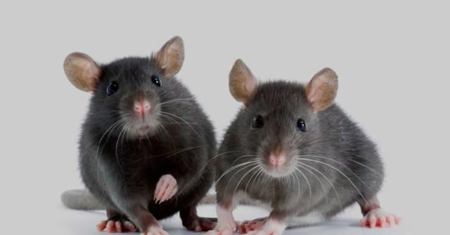 Kaksi uteliaalta vaikuttavaa rottaa.