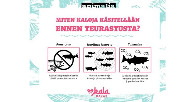 Infograafi: Miten kaloja käsitellään ennen teurastusta? Infograafissa käsitellään paastotusta, nuottausta, nostoa ja tainnutusta. Infograafin sisältö avataan tekstissä.