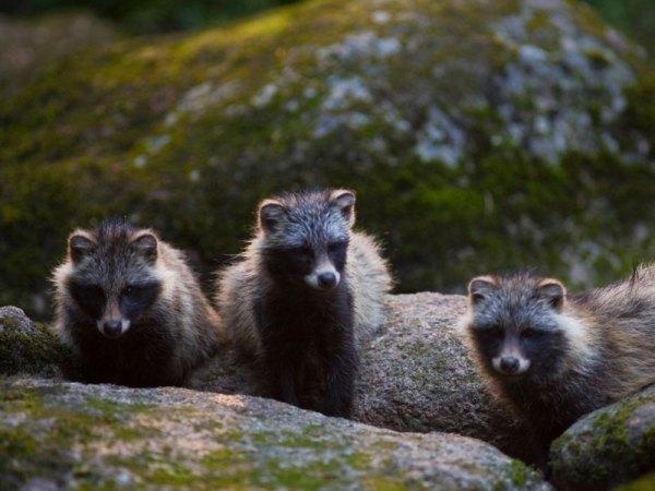 Kuvassa kolme supikoiraa sammaleisella kalliolla. Kuva: Esko Kivistö.