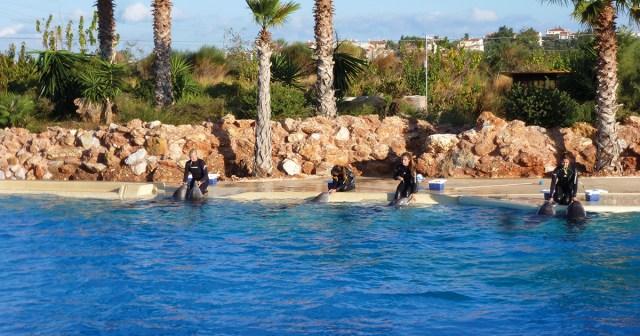 Kouluttajat ruokkivat delfiinejä delfinaarion altaalla.