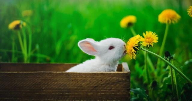 Valkoinen kaninpoikanen maistaa voikukkaa.