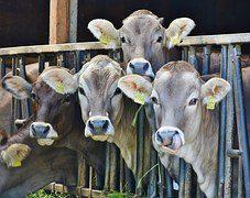 calves dairy cows cattle ear tags factory farming vegan animals