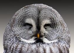 grey owl asleep bird animal feathers wildlife