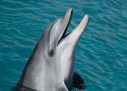 dolphin head marine sea swim
