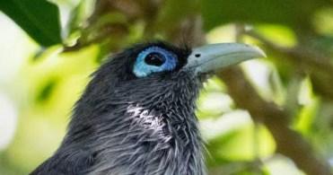 Blue-Faced Malkoha