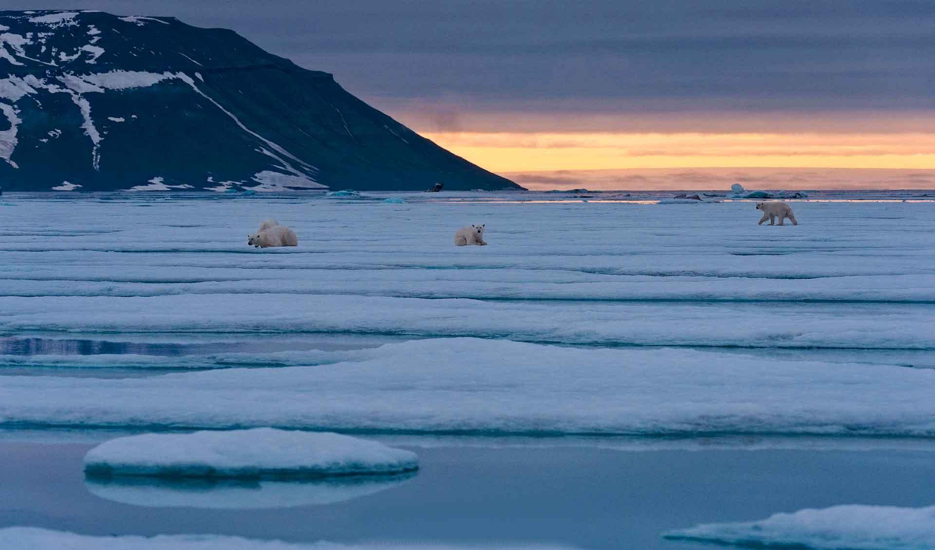 Арктикада полярлық аю тұрады