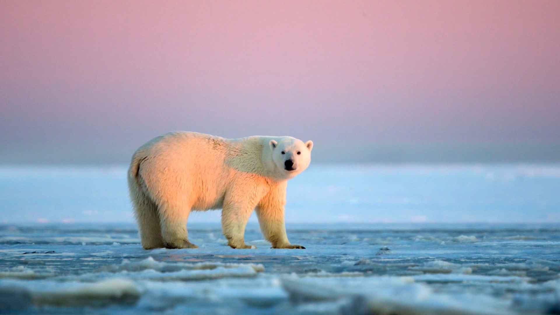 Полярлық аю солтүстік полюсте тұрады
