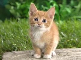 Tabby cat (2)