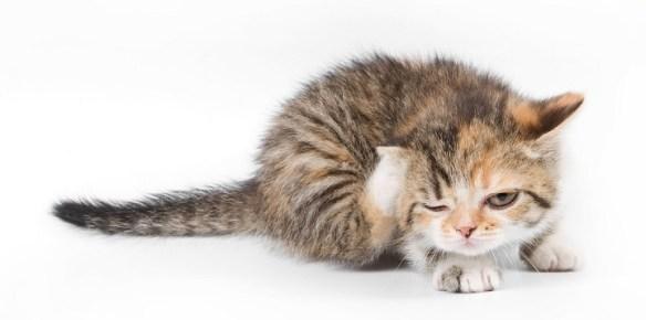 alergias gato piel1