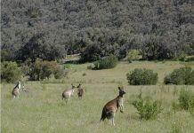 What do Kangaroos Eat?