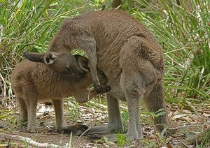 The Western Grey Kangaroo