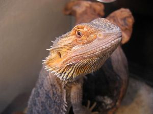 Bearded Dragon Set Up Guide